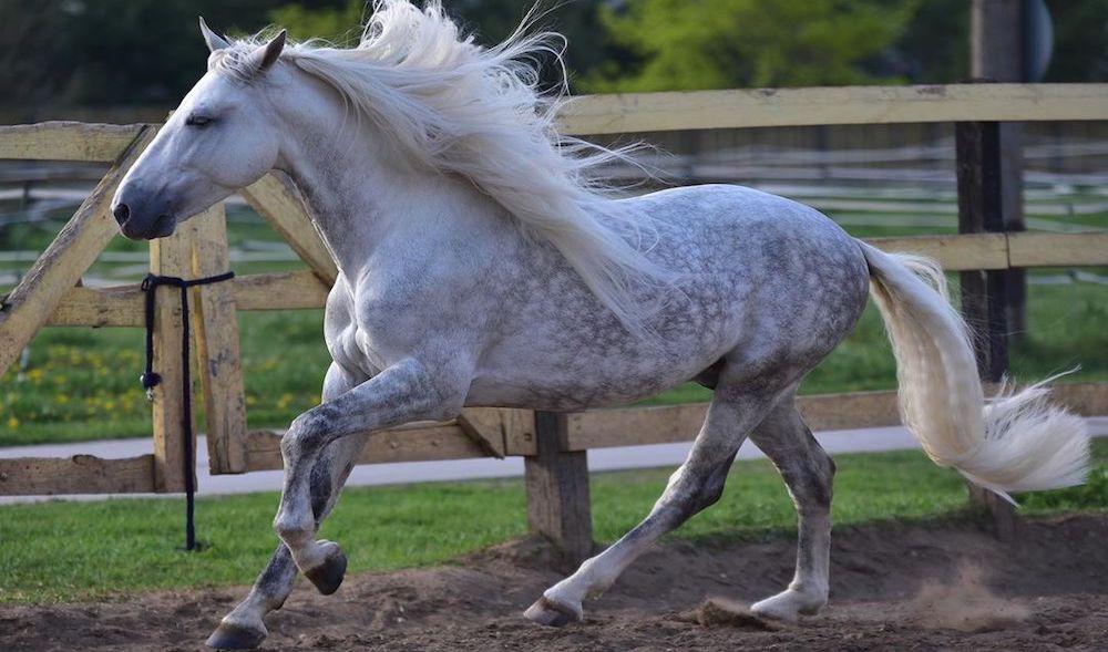 Продажа лошадей PRE